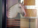 Through the window tonight, a Lipizzaner stallion in his stall at the stables of the Spanish Riding School.