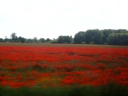 A field of poppies, viewed from the train to Cambridge.