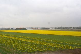 Daffodil fields on the way to Leiden.