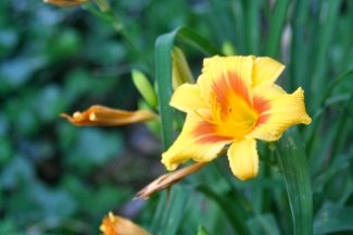 Day lily.