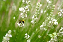 A bee, and white lavender, in the cloister herb garden.