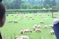 Sheep! I smell lamb chops....