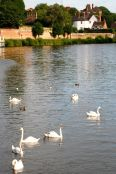 Swans on the Severn.