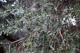Olives will be harvested in October.