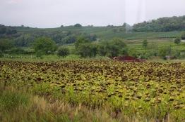 Sunflowers drying before harvest.