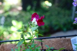 Snapdragons in a window box.
