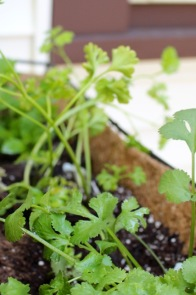 Cilantro and parsley and sweet mint.