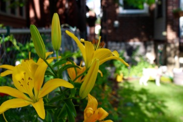 Asiatic lily.