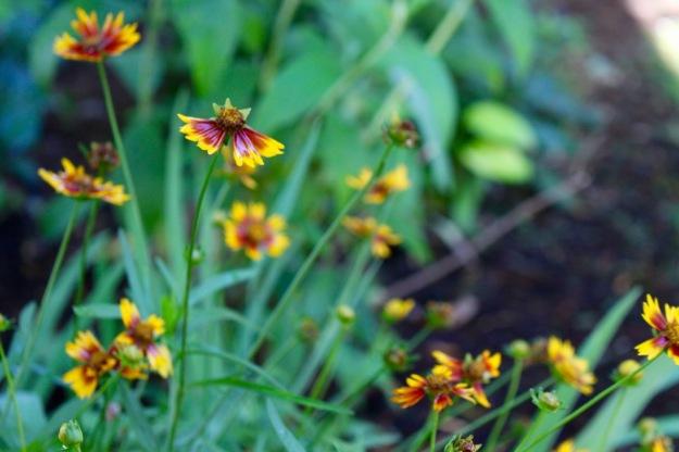 Calliopsis.
