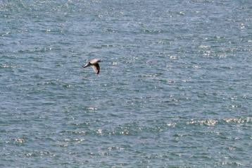 Seagull.