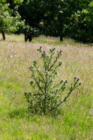 Scottish thistle growing wild.