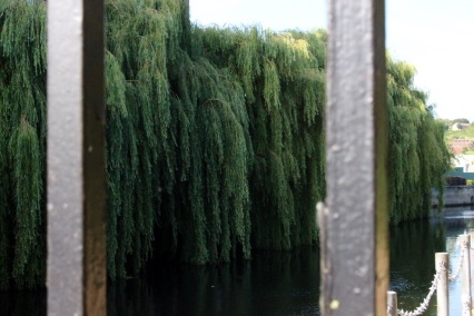 Weeping willows on the River Fye.