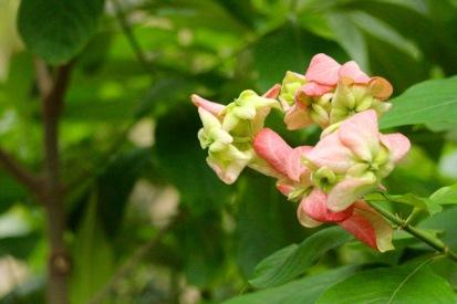 African Mussaenda. Mussaenda erythrophylla.