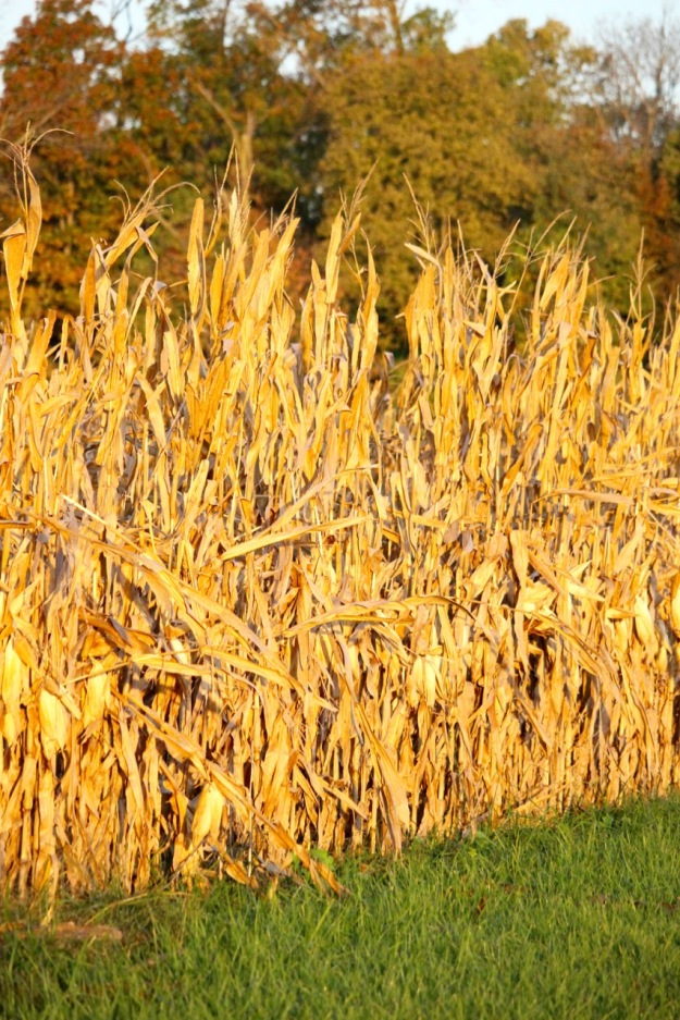 Corn drying on the stalk.