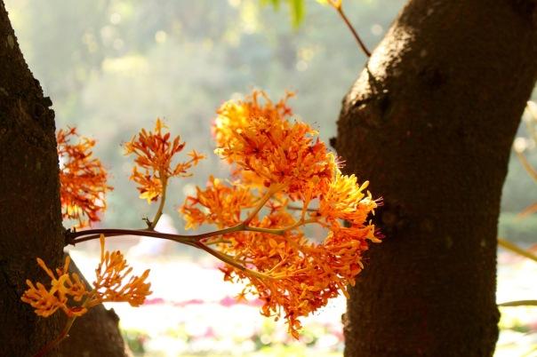 Ashoka tree, or Saraca indica.