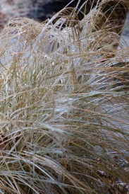 Monkey grass bending under the ice.