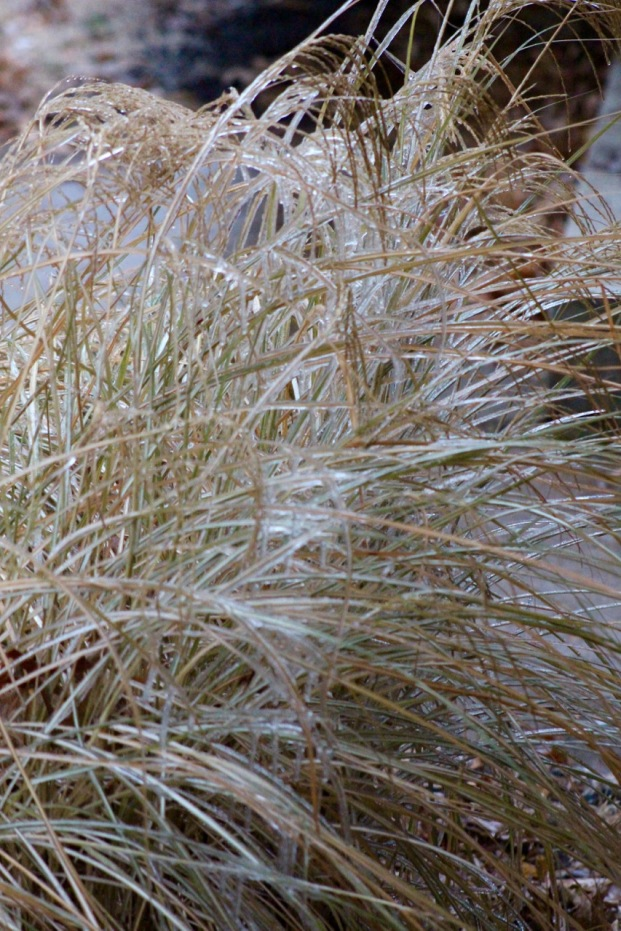 Monkey grass bending under the ice.