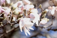 frost-buds-4