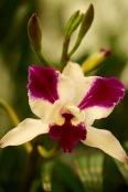 orchids17-15