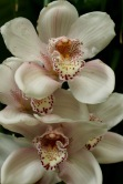 orchids17-7