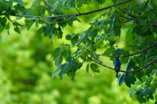 Indigo bunting bird