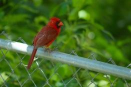 Cardinal.