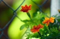 I love marigolds.