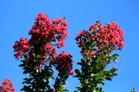 Crape myrtle against the blue evening sky.