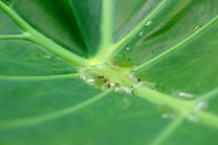 Colocasia.