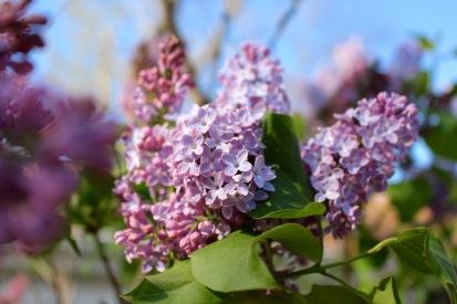 lilac - 1