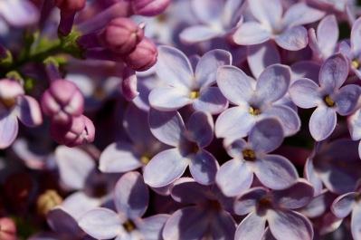 lilac - 3
