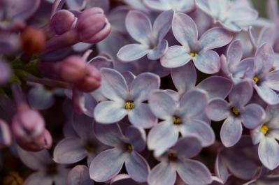 lilac - 4