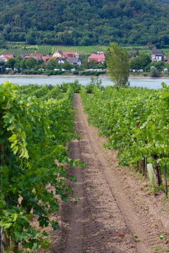 Looking through the vineyards toward the Danube.