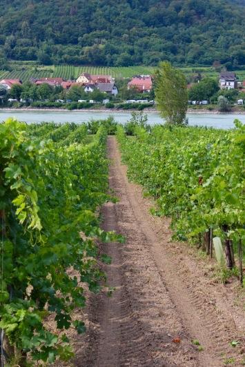 Looking through the vineyards toward the Danube.