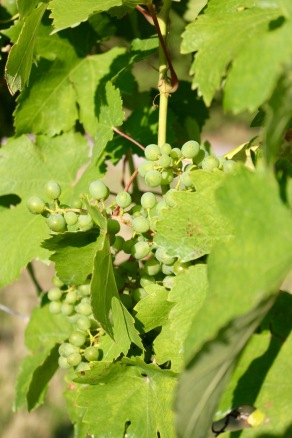 The grapes have a long way to go, but it's only July.