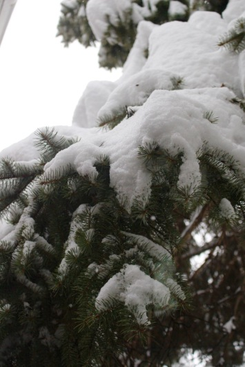 The Douglas fir tree, at the southwest corner of my house.