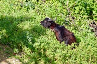 A goat on the hillside.