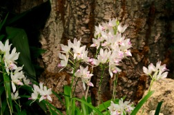 orchid19 - 5