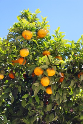 Orange trees adorn the streets in Chefchaouen