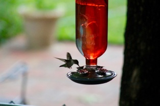 Hummingbirds drink for two seconds or less, then look around.