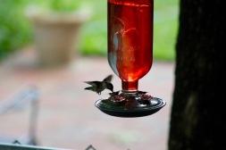 hummingbird19 - 4
