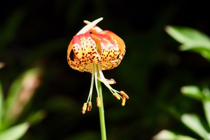 This lovely is a leopard lily (lilium pardalinum).